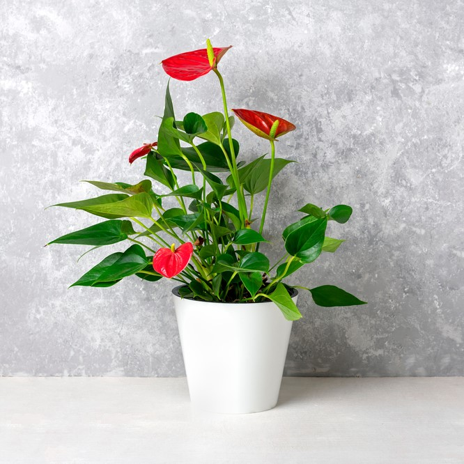 House,plant,anthurium,in,white,flowerpot,isolated,on,white,table