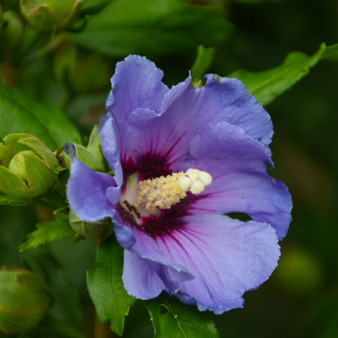 Single,purple,flower,hibiscus,syriacus,(the,rose,of,sharon),on