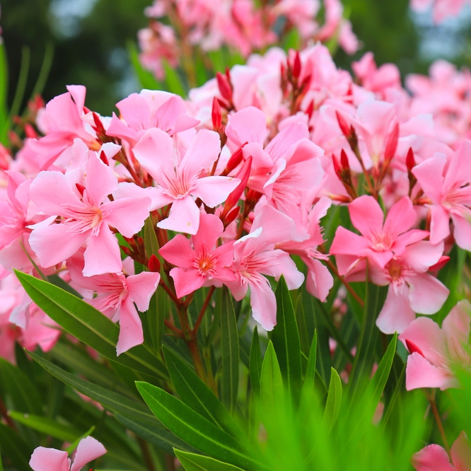 The,best,delicate,flowers,of,pink,oleander,,nerium,oleander,,bloomed