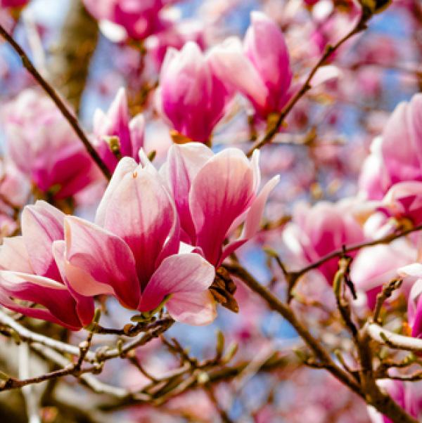Ext Magnolia