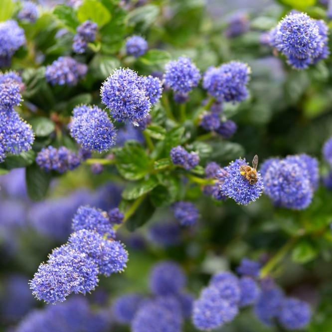 Céanothe bleu