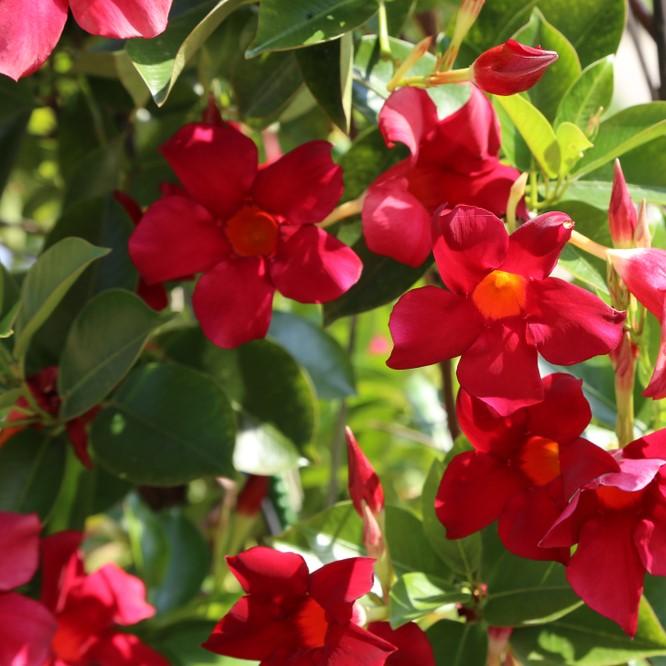 Dipladenia,/,beautiful,red,flowers,in,the,garden